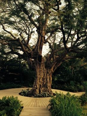 The namesake tree