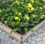 Lettuce-filled raised beds